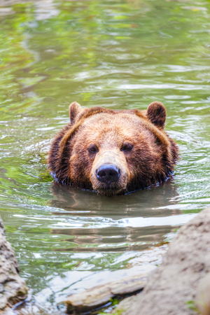Close up of a swimming grizzly bear with its head emerging from a lake in the Canadian Rockies.