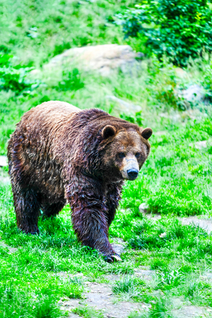 A grizzly bear with wet fur having just emerged from a lake walking slowly in the Canadian Rockies. Stock Photo