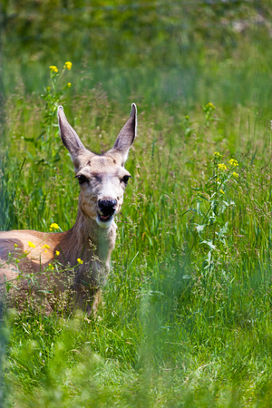 A young wide-eyed Mule Deer looks through the tall grasses in the Canadian Rockies.