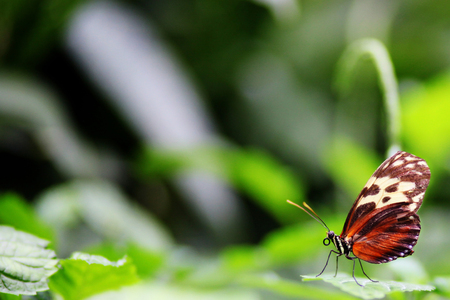 Beautiful Golden Helicon butterfly in green nature garden environment with deliberate soft focus background and copy space.