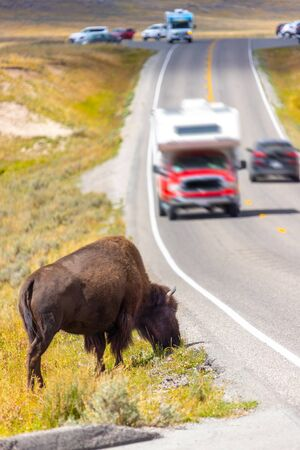 An American Bison grazing by the side of the road as traffic passes by at Hayden Valley in Yellowstone National Park, Wyoming, USA.
