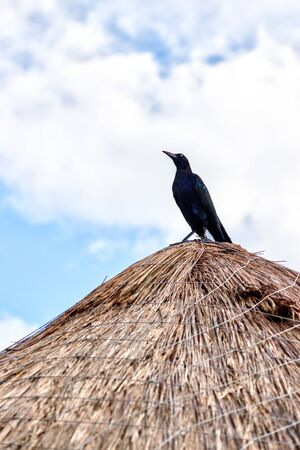 Great-Tailed Grackle or Mexican Grackle bird standing on a coconut palm leaf hut in Cancun with copy space