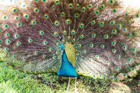 Male Indian peacock wandering in a garden park.