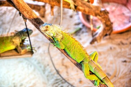Single green iguana pet crawling on wooden branches and locked up in a cage.