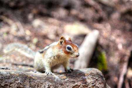 Golden-mantled ground squirrel looking for food at Banff National Park with copy space. The ground squirrel is a common sighting in the Canadian Rockies. Selective focus and deliberate background bokeh. 스톡 콘텐츠
