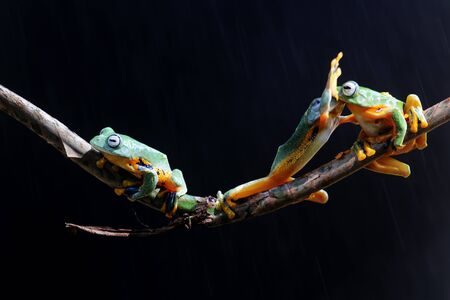 Wallace's flying frogs, frogs, tree frogs, animals