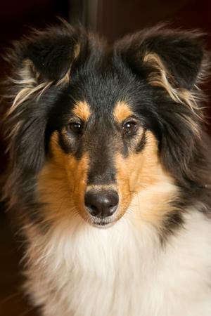 Portrait of a cute black collie dog
