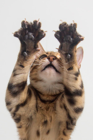 Bengal cat playing with clutches on white background