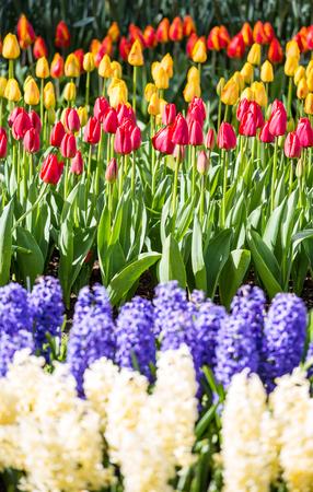flower garden: Tulips and flowers at Keukenhof gardens, Lisse, Netherlands