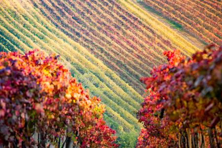 カステルヴェトロ、モデナ、エミリア ・ ロマーニャ州、イタリア。秋のランブルスコ Grasparossa ブドウ畑や丘陵に沈む夕日 写真素材