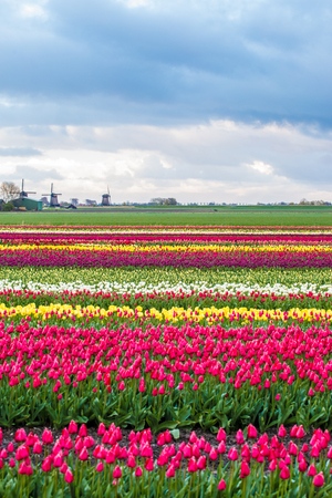 Windmills and tulip fields full of flowers in Netherland