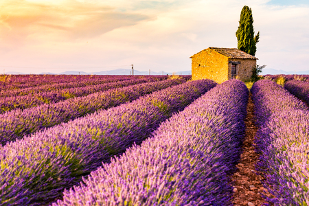 plateau of flowers: Provence, Valensole Plateau, France, Europe. Lonely farmhouse and cypress tree in a Lavender field in bloom, sunrise with sunburst.