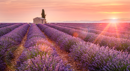 Provence, Valensole Plateau, France, Europe. Lonely farmhouse and cypress tree in a Lavender field in bloom, sunrise with sunburst.