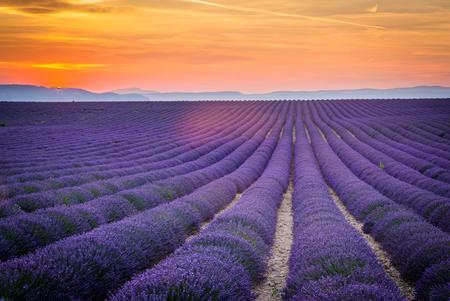 プロヴァンス、フランス、ヨーロッパ。Purlple ラベンダーのフィールドが花、日当たりの良い夏の日に自然光でいっぱいです。レバン高原