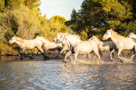 Wild horses of Camargue at sunset, Southern France