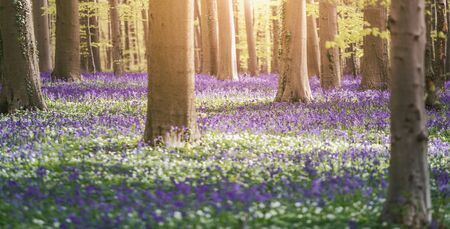 Bluebells enchanted forest in Belgium