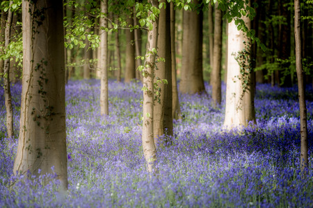 Hallerbos, beech forest in Belgium full of blue bells flowers.