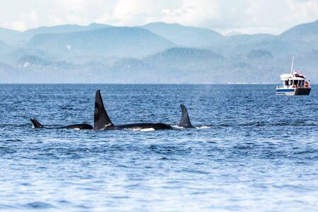 Killer Whales pod in Vancouver Island, British Columbia, Canada