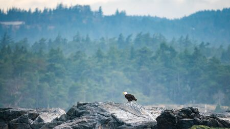 Bald Eagle laying on rocks at Victoria Bay, Vancouver Island, British Columbia, Canada