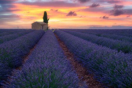 Provence, Southern France. Lavender field at sunrise, Valensole