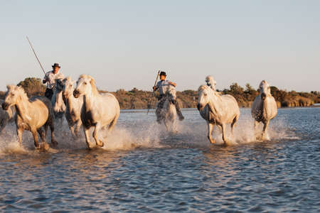 02-08-2018 Aigues Mortes, France. Cowboy and wild horses of Camargue Редакционное