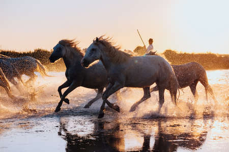 Aigues Mortes, France. wild horses of Camargue running on water Фото со стока