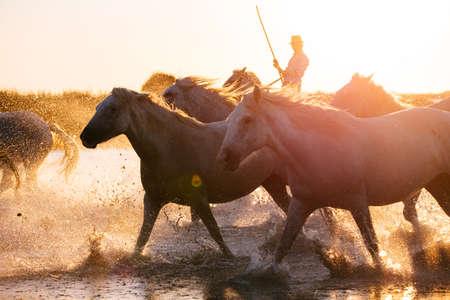 02-08-2018 Aigues Mortes, France. Cowboy and wild horses of Camargue Фото со стока