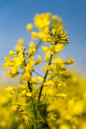 Yellow rapeseed Flowers in bloom