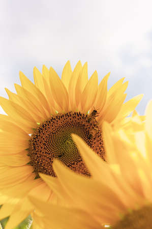 Sunflowers with shallow depth of field, faded vintage look