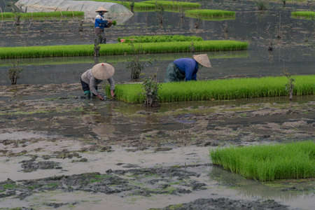 impoverished: Farmer on the ricefield