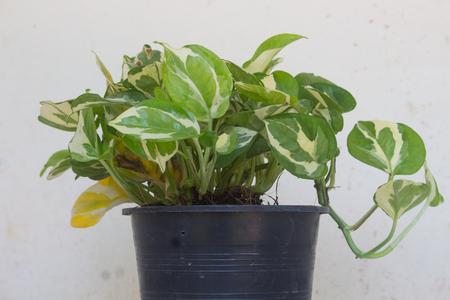 Epipremnum aureum plant in pot