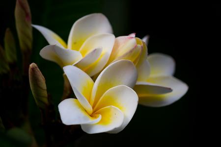 Beautiful Plumeria on black background