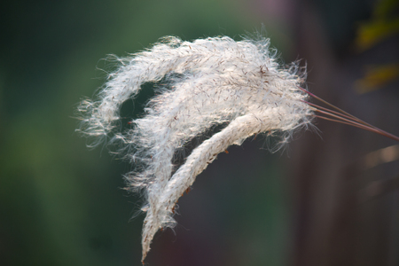 Flower grass while wind blow