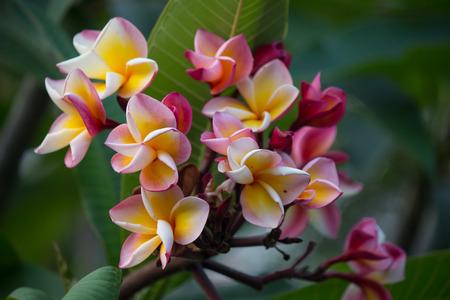 pink tropical flower Frangipani, Plumeria
