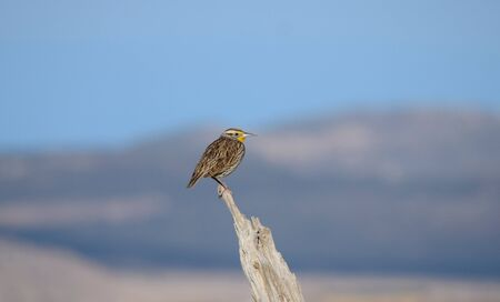 Western Meadowlark Sitting On Fence Post