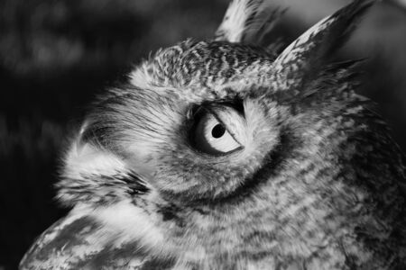 Great Horned Owl Face Stock Photo