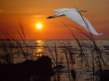 白い白鷺日没