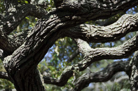 unison: Oak tree limbs stretch out in almost infinite unison. Stock Photo