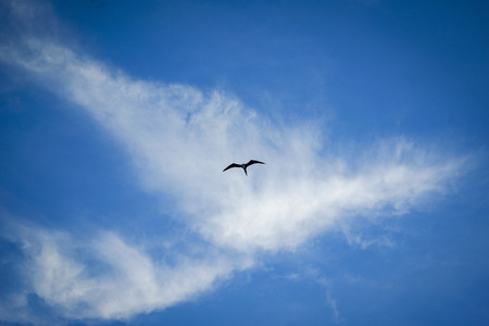 Bird Flying against Blue Sky with White Wispy Cirrus Clouds