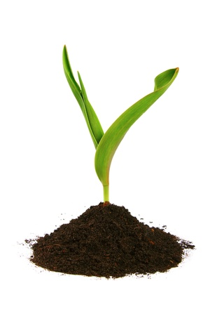 new sprout and dirt isolated on white photo