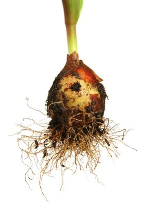 tulip bulb photo