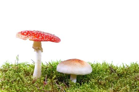 Mushrooms in moss photo