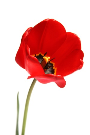 Red tulip on white background photo