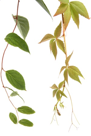 liana: Two kind of creeper plants