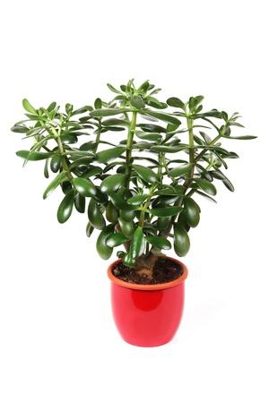 crassula: crassula flower in a red pot