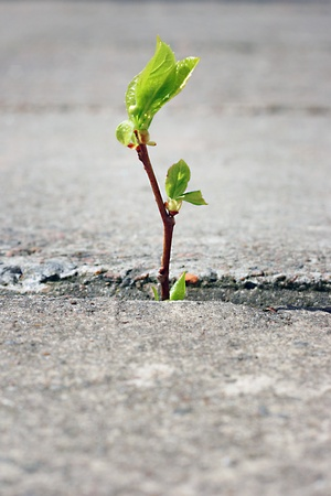 adversity: tree growing through crack in pavement