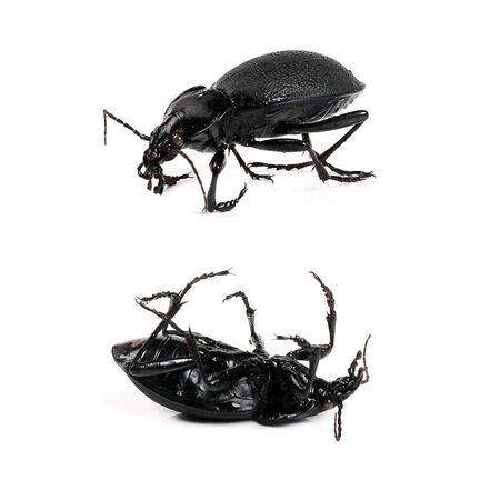 black beetle isolated on white background photo