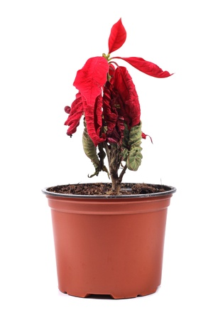 droop: wilted red flower in a flowerpot Stock Photo