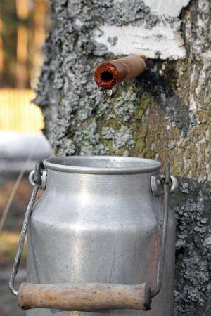 sap: collecting birch juice