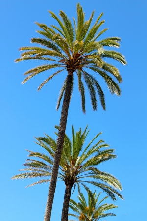 three palm trees: three palm trees against clear blue sky